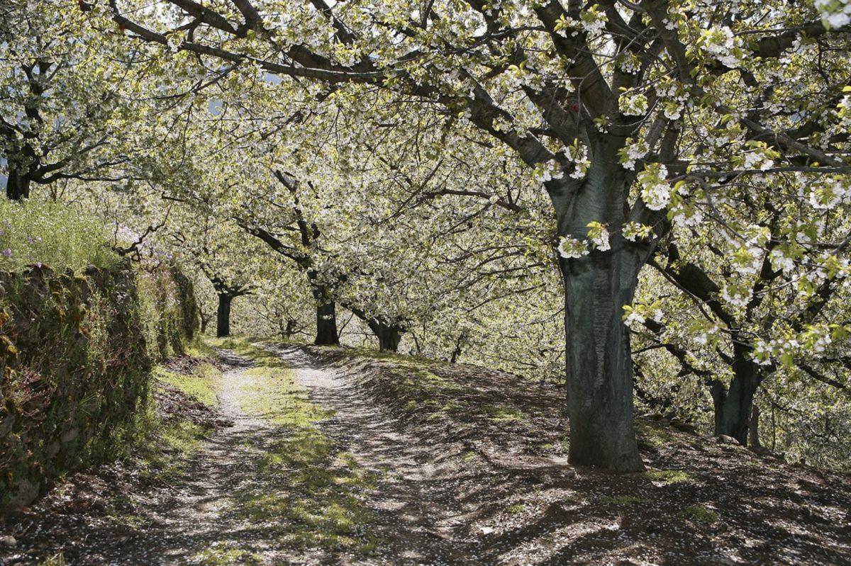 Visita los cerezos en flor del Valle del Jerte