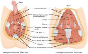 Muscles-Pelvic-Floor